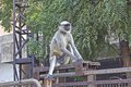 Langur common monkey in center of ahmedabad gujarat Stock Photography