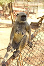 Langur on a fence wild female monkey Stock Photography