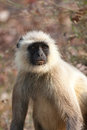 Langur Monkey Royalty Free Stock Photo