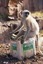 Langur monkey ranthambore national park rajasthan india sat bin Stock Images