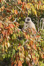 Langur monkey tree india Stock Image