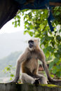 Langur Royalty Free Stock Photo