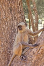 Langur on a tree monkey branch Royalty Free Stock Photos