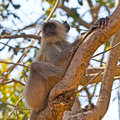 Langur on a tree monkey branch Stock Photo