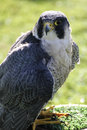 Lanner falcon Royalty Free Stock Photos