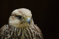 Lanner falcon young being very curious Royalty Free Stock Image