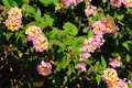 Lantana Royalty Free Stock Photos