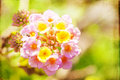 Lantana abstract textured macro image of with vintage feel Royalty Free Stock Photo