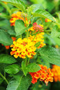 Lantana camara Royalty Free Stock Photos