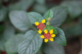 Lantana camara beautiful in outdoor Royalty Free Stock Photography