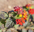 Lantana camara blossom beautiful of plant Royalty Free Stock Photos