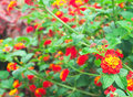 Lantana camara on the blurred background Stock Photo
