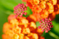 Lantana camara close up on the buds and flowers background with green leaves Royalty Free Stock Images