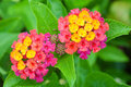 Lantana camara close up of on plant Stock Photography