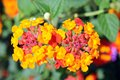 Lantana camara colorful flowers Stock Photo