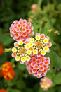 Lantana camara flower Royalty Free Stock Photography