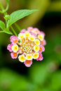 Lantana camara flower close up Royalty Free Stock Photos