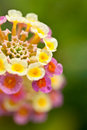 Lantana camara flower extreme close up Royalty Free Stock Photo