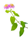 Lantana camara flower is isolated closeup Stock Images