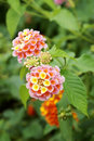 Lantana camara flowers Stock Images