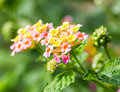Lantana camara flowers blooming at the park Stock Photos