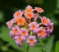 Lantana camara spanish flag also known as or west indian or lava is a species of flowering plant in the verbena family Royalty Free Stock Photography