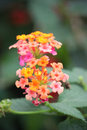 Lantana a close up of a flowering Stock Photos