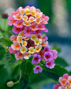 Lantana colorful on a summer day Stock Photography