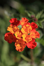 Lantana Flower Royalty Free Stock Photography