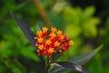 Lantana Flower Buds