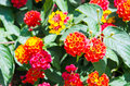 Lantana flowers Royalty Free Stock Images