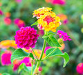 Lantana Flowers camara, background Stock Photography