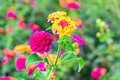 Lantana flowers camara background closeup Royalty Free Stock Image