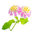 Lantana flowers camara fresh isolated Royalty Free Stock Photography