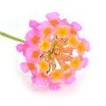 Lantana flowers camara fresh isolated Stock Image