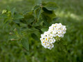 Lantana flowers in the garden Stock Photos