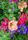 Lantana multi colored flowers with buds and leaves Stock Images