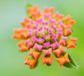 Lantana one beautiful on green background Royalty Free Stock Photo