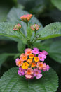 Lantana is verbenaceae shrub native to the americas every may to september blossom the production of bonsai also has a cool Stock Images