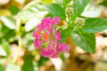 Lantana or wild sage lantana camara l against nature background Stock Photography