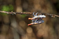 Lantern bugs some sort of beautiful orange in anja reserve madagascar Royalty Free Stock Photos