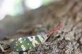 Lantern fly lantern bug, Pyrops sultana Royalty Free Stock Photo
