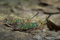 Lantern Fly in Thailand. Royalty Free Stock Photo