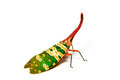 Lantern fly on white background Royalty Free Stock Photo