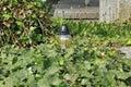Lantern in ivy Royalty Free Stock Photo