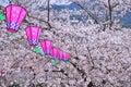 Lanterna de papel japonesa e flor de sakura Imagem de Stock