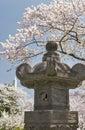 Lanterna japonesa com as árvores de cereja na flor Fotografia de Stock Royalty Free
