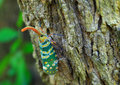 Lanternfly colorful insect ,Asian Thailand Royalty Free Stock Photo