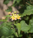 Lantrana camara blosssom beautiful bloom of lantana plant Royalty Free Stock Image