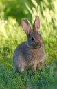 Lapin de lapin sauvage Photo stock